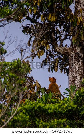 a proboscis monkey sitting in a tree in borneo - stock photo
