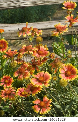 A profusion of Gaillardia (Blanket flowers) cluster in front of an old weathered fence. - stock photo