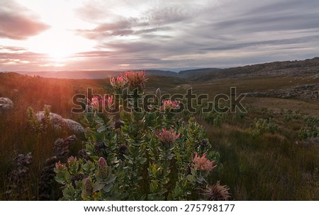 a protea flower bush indigenous to southern africa in a mountainous setting with a bright sunburst in the clouded sky - stock photo