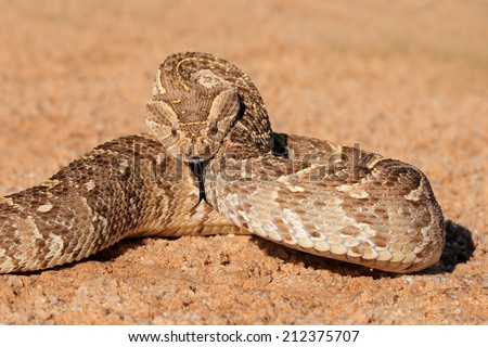 A puff adder (Bitis arietans) in defensive position, southern Africa - stock photo