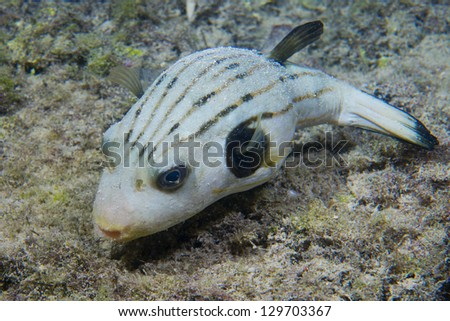 A puffer fish in Philippines - stock photo