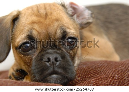 A puggle puppy puts her head on a pillow. - stock photo