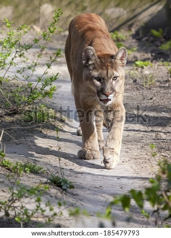 A puma or cougar (Puma concolor) is coming - stock photo