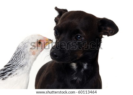 A puppy dog and a chicken is looking at each other. Real shot, not manipulation. The dog is a mix of a chihuahua and a miniature pinscher. - stock photo