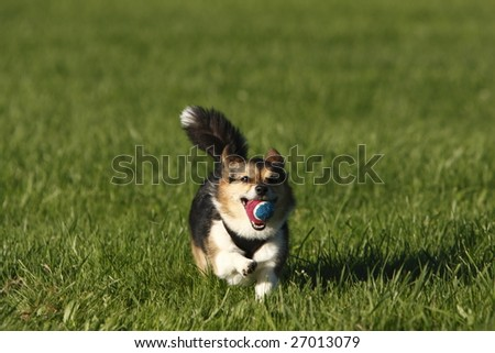 A puppy dog retrieving a ball at the park. - stock photo