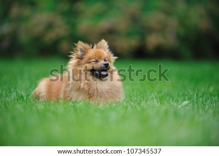 A puppy of a Pomeranian spitz running with a wide smile - stock photo