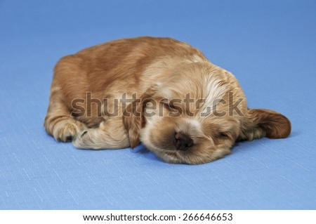 A puppy of American cocker spaniel sleeping on a blue background.  Two weeks old.  - stock photo