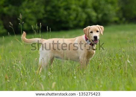 A puppy of labrador retriever in a grass - stock photo