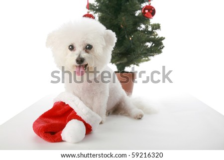 a pure bred Bichon Frise sites in front of a Christmas Tree for Christmas or any Winter Holiday on white with a grey floor - stock photo