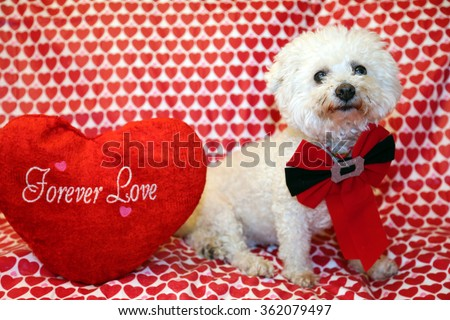 A pure breed Bichon Frise dog poses for Valentines Day photos against a Heart Pattern background. Bichon Frise dogs are known for being loving and are hypoallergenic and do not shed.  - stock photo