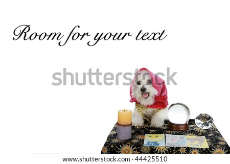 """a purebred Bichon Frise as a """"Pet Psychic"""" or """"Psychic Pet"""" or """"fortune teller"""" isolated on white with room for your text - stock photo"""