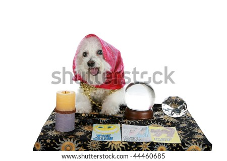 "a purebred Bichon Frise as a ""Pet Psychic"" or ""Psychic Pet"" or ""fortune teller"" isolated on white with room for your text - stock photo"