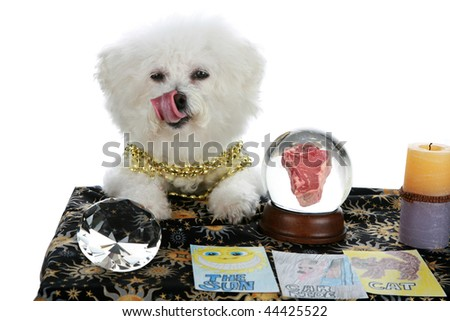 """a purebred Bichon Frise as a """"Pet Psychic"""" or """"Psychic Pet"""" or """"fortune teller"""" sees a Steak Dinner in you future  isolated on white with room for your text - stock photo"""