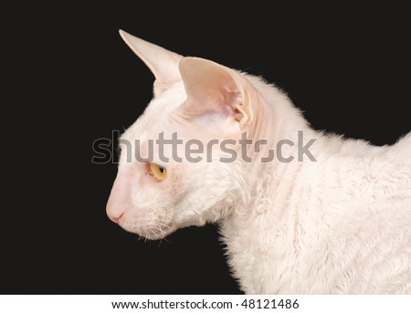 A purebred Cornish Rex cat has very short hair revealing a translucent pink skin. - stock photo