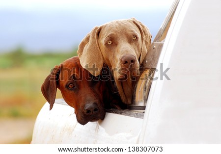 A purebred South African Rhodesian Ridgeback hound and a thoroughbred Weimaraner dog staring from a pick-up with observant facial expression. - stock photo