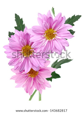 A purple chrysanthemum blooming in autumn season - stock photo