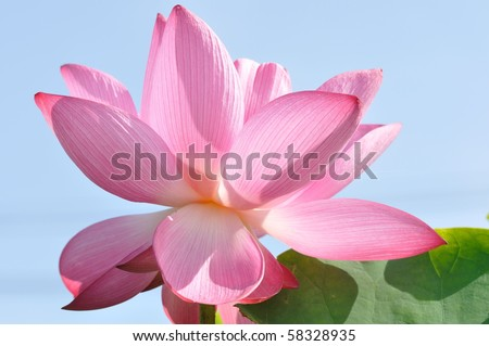 a purple lotus in blue sky - stock photo