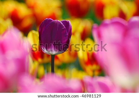 A purple tulip is in focus amongst pink and yellow-red tulips - stock photo