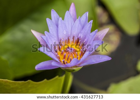 a purple water lily blossom on water with green foliage - stock photo