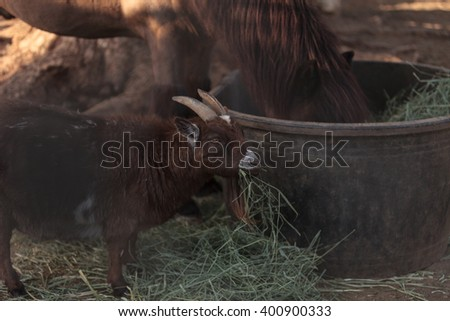 A pygmy goat eats hay next to his horse companion at a barn. - stock photo
