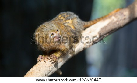 A Pygmy Marmoset on a tree branch, the smallest monkey in the world - stock photo