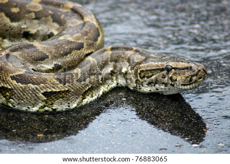 A python laying in the street after eating a small buck - stock photo