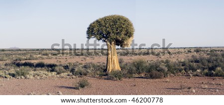 A quiver tree Aloe dichotoma in the vast expanse of the Northern Cape Province of South Africa near the town Pofadder. - stock photo