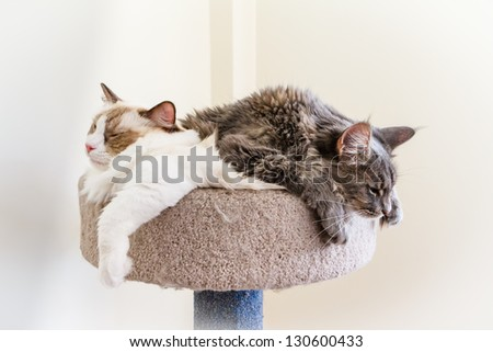 A Ragdoll and a Maine Coon kitten make a sleepy cat pile. - stock photo