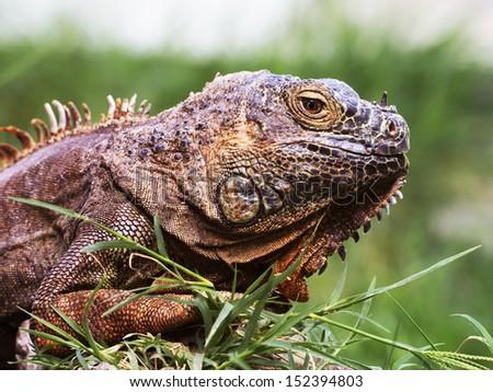 A rare green iguana. Dramatic photo at a zoo. - stock photo