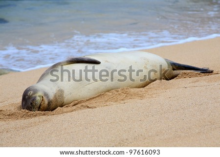 A rare Hawaiian Monk Seal suns itself on the beach with a happy, relaxed expression on its face - stock photo