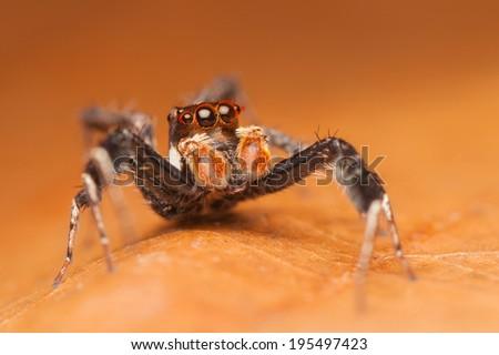 A rare jumping spider (Portia Sp.) on orange leaf - stock photo