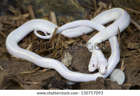 A rare two-headed Californian King-snake at a zoo, Lampropeltis getulus californiae - stock photo