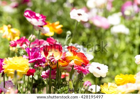 A red and yellow bunch of buttercup flower framed against a background of colorful buds and greenery. - stock photo