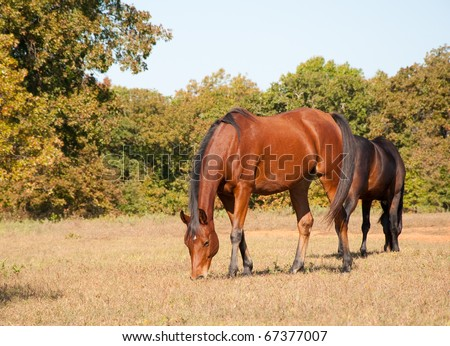 A red bay Arabian horse grazing on a fall pasture - stock photo