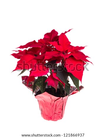 A red blooming poinsettia isolated on white - stock photo