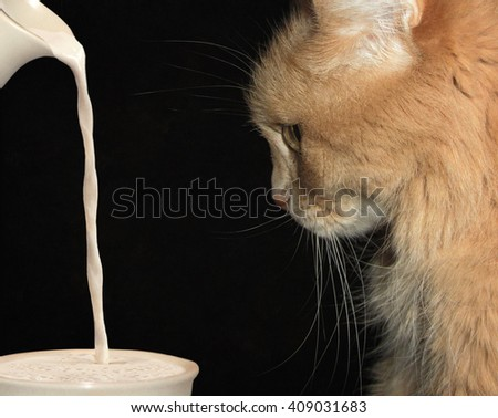 A red cat is watching with attention  milk . - stock photo