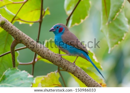A Red-Cheeked Cordon-Bleu perched on a branch - stock photo