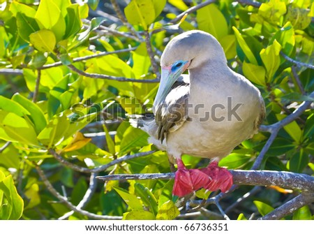 a red footed boobie  in genovesa island, galapagos - stock photo