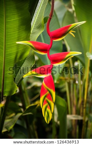 A red heliconia flower in a forest in Colombia. - stock photo