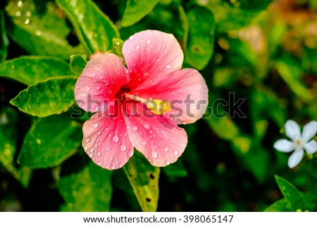 A red hibiscus flower with dew or rain drops - stock photo