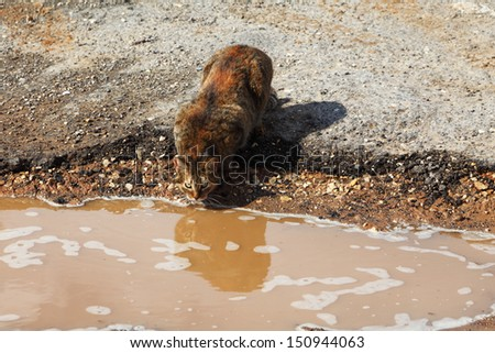 A red homeless cat drinks from a yellow clay pool  - stock photo