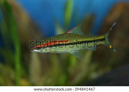 A Red-lined Torpedo Barb (Sahyadria denisonii) swimming.  - stock photo