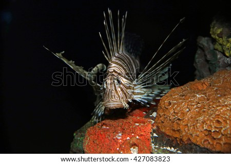 A Red Lionfish (Pterois volitans) swimming in a tank.  - stock photo