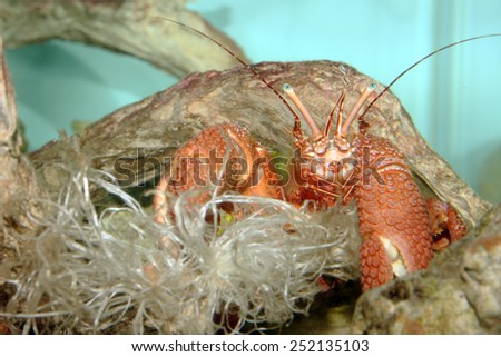 A Red Marine Giant Hermit Crab (Petrochirus Diogenes) in a Home Aquarium - stock photo