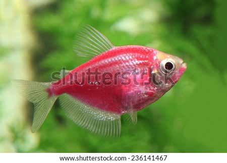 A Red or Pink Glow Fish in an Aquarium - stock photo