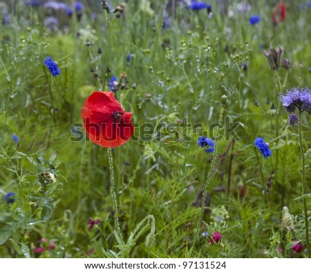 A red poppy in a field of grass and flowers. - stock photo