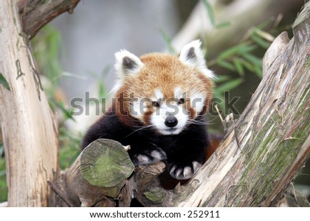 A red randa in a tree - stock photo