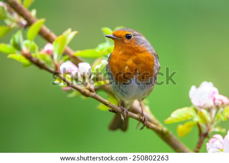 A red robin (Erithacus rubecula) in between white fruit blossom as a concept for spring - stock photo