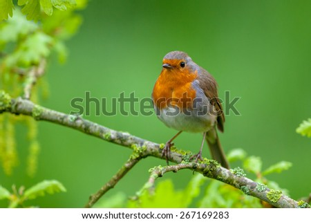 A red robin (Erithacus rubecula) perched on a fresh flowering oak branch as a concept for spring. - stock photo