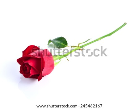 A red rose bloom by gift - stock photo